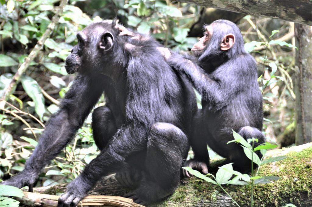 Reiseblogg, Uganda, sjimpanser, Unike Reiser